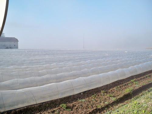 Strawberries under plastic.