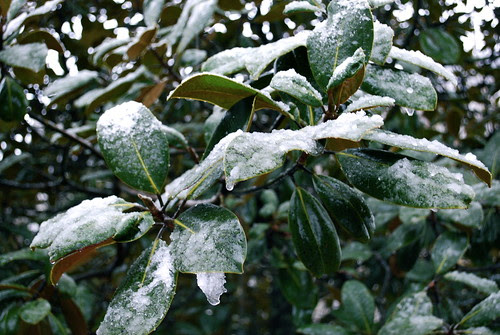 Magnolia leaves in the snow