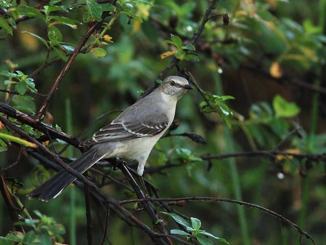 Northern Mockingbird 20140102