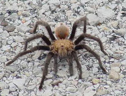 http://www.bernieschmidt.com/cycling/Trip2005/D2/d206-Tarantula.jpg