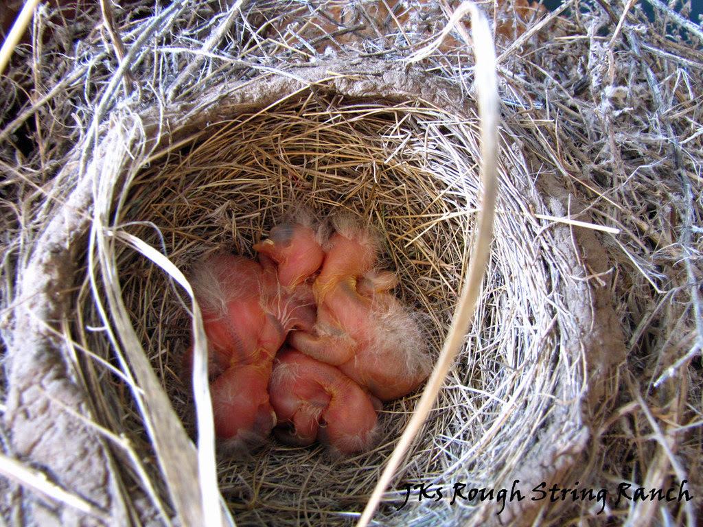 Newborn Robin's