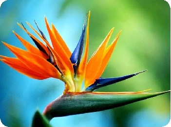 Cut Flower Care And Handling Bird Of Paradise Floralife Blog