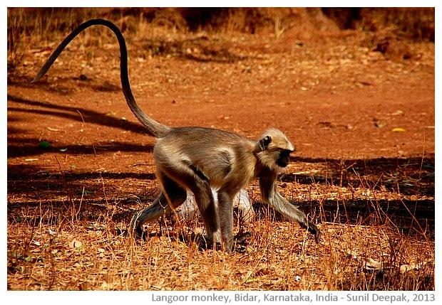 Gray Langur monkey, Bidar, Karnataka, India - images by Sunil Deepak