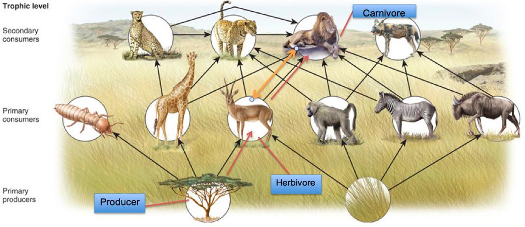 Food Chain and Web - The Savanna