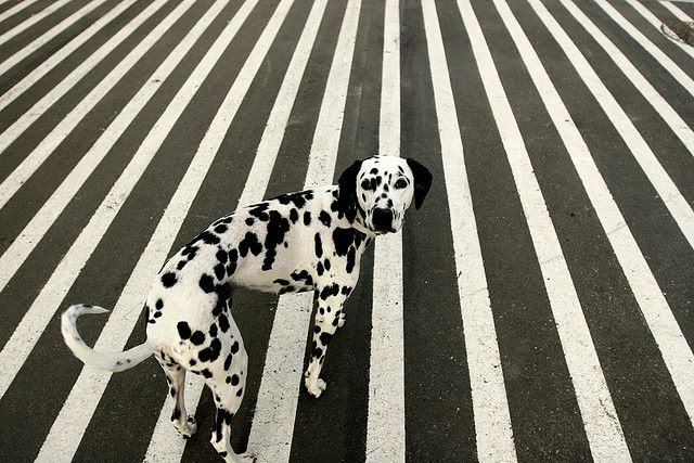 #dog #dalmatian