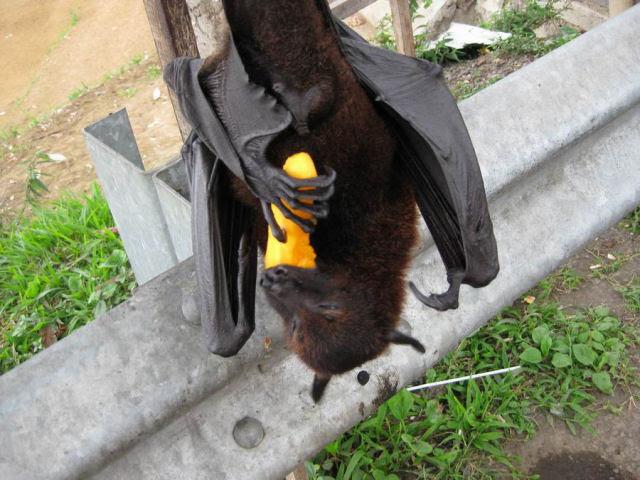 Super morcego