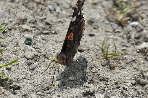 Red admiral  12