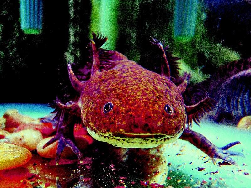 File:AxolotlCalisto.jpg