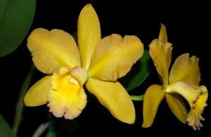 Blc. Waikiki Gold 'Lea', um belo híbrido frequentemente presente nas exposições.