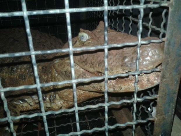 Animal tem 1,5 metro de comprimento e não ficou ferido  (Foto: Polícia Militar Ambiental / Divulgação )