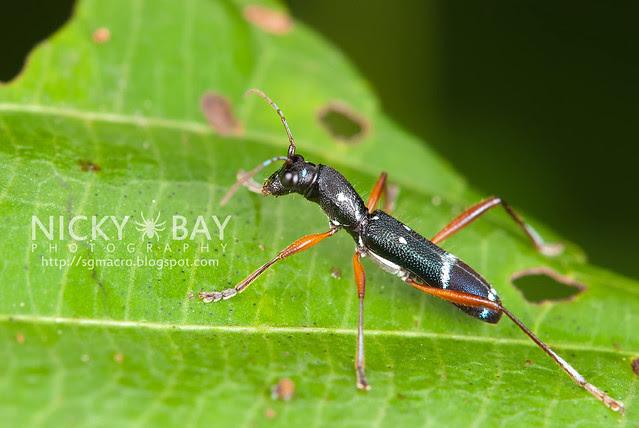 Longhorn Beetle (Cerambycidae) - DSC_2230