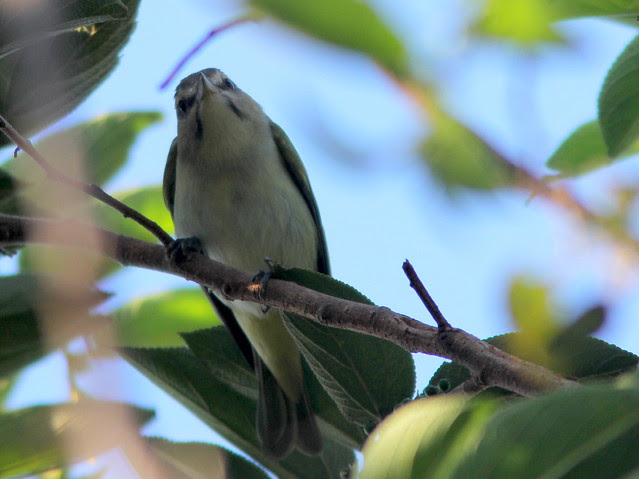 Black-whiskered Vireo 3-20110420
