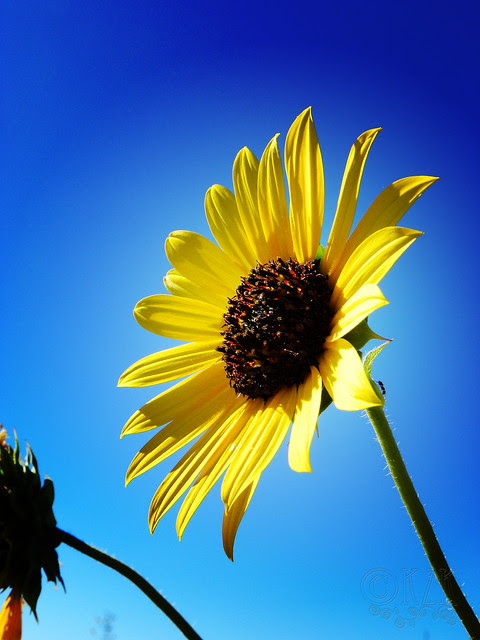 DSCN4333 Sunflower