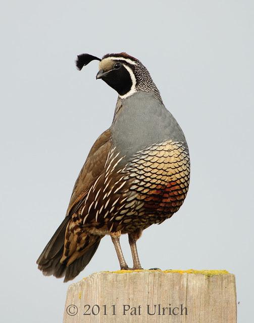 Coy California quail -- Pat Ulrich Wildlife Photography