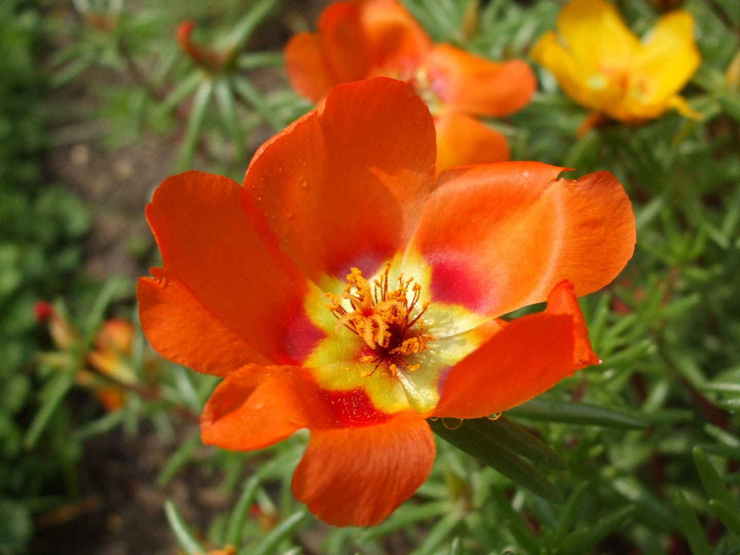 Portulaca by Angie Ouellette-Tower photo DSCF0903_zps4dd4779f.jpg