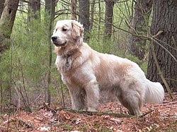 Golden Retriever Top Dog Breeds