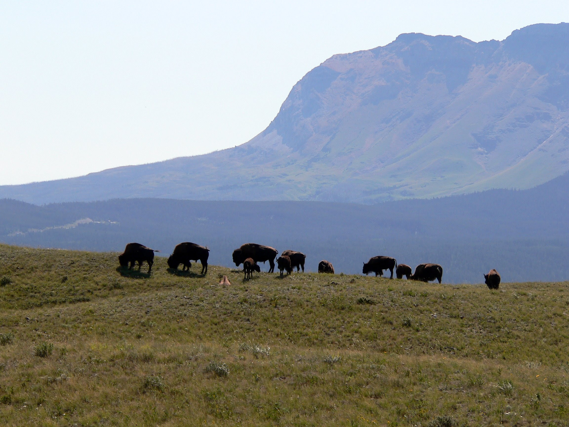 http://upload.wikimedia.org/wikipedia/commons/e/ed/Bison_bison_Waterton_Lakes.jpg