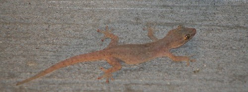 gecko hunting