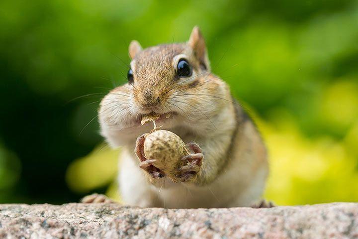 Bildergebnis für chipmunk
