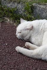 猫, 城ヶ島