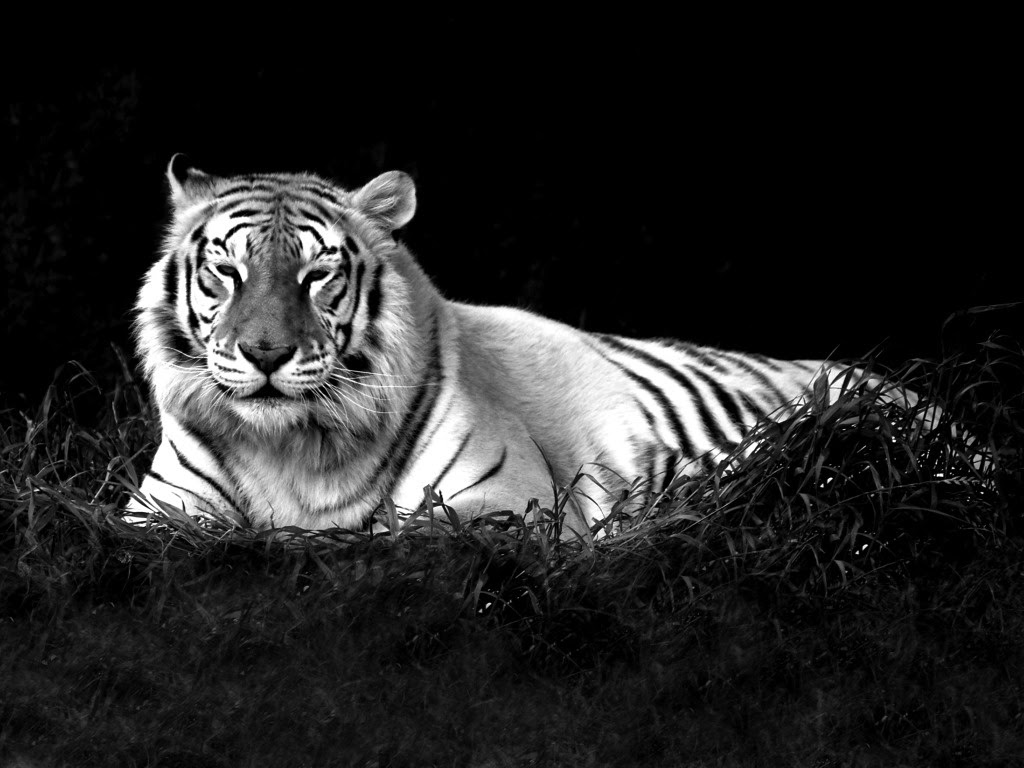 Baby White Tiger Wallpaper Hd