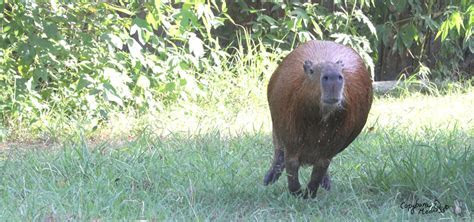 VIDEO: Capybara On The Run In Russian Zoo ? Lazer Horse