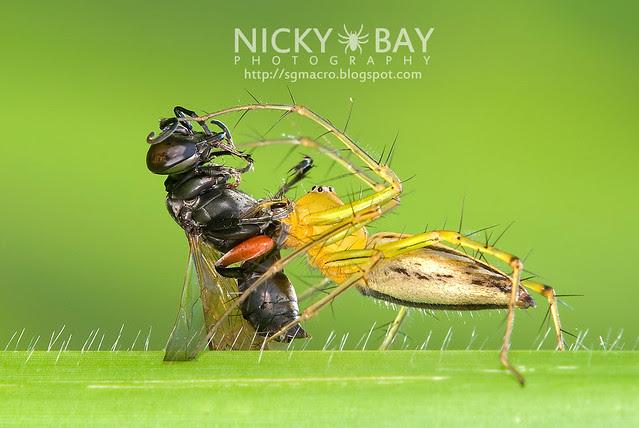Lynx Spider (Oxyopidae) - DSC_0123