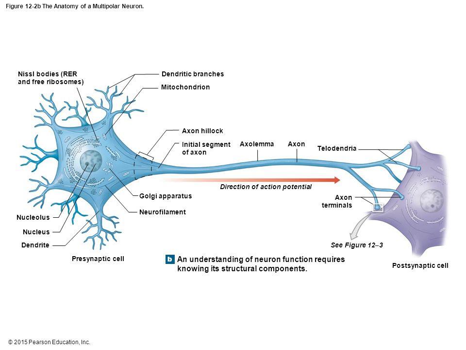 Figure+12 2b+The+Anatomy+of+a+Multipolar+Neuron