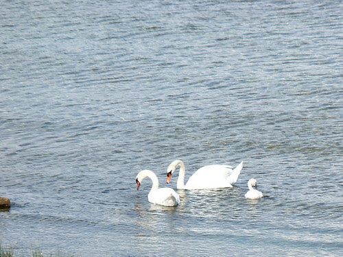 Family of Swans - Mackinaw City/St. Ignace, Michigan 2010