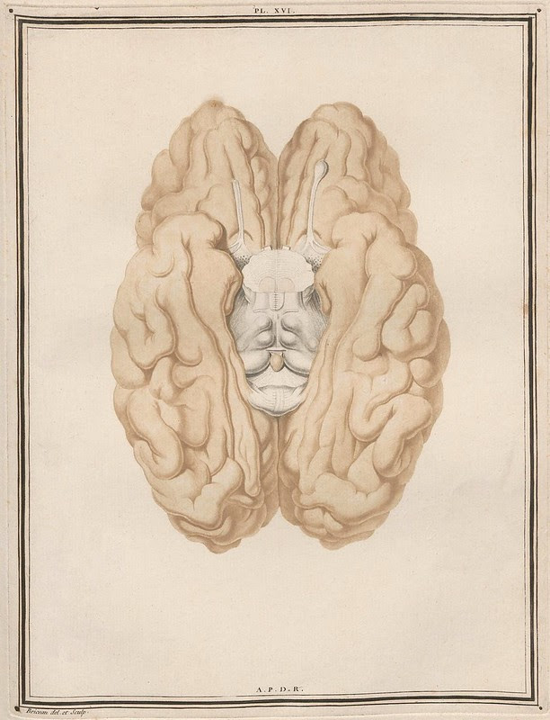 inferior illustrated view of brain lobes showing transected brain stem