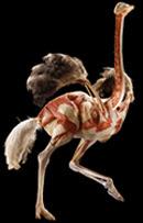 Ostrich plastinate