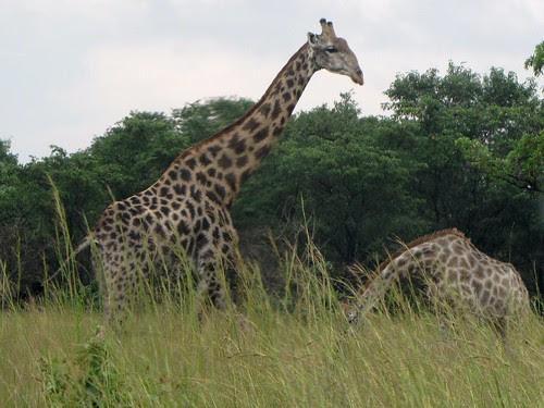 Zebras grazing by CharlesRay2010