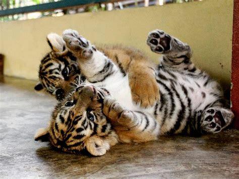 foto anak harimau  lucu  menggemaskan