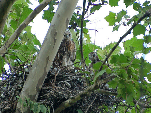 Highbridge Red-tail Nestlings