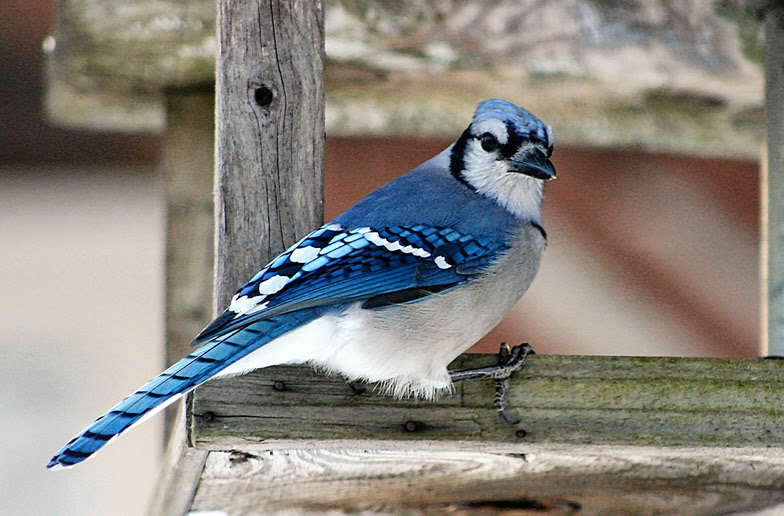 Blue Jay Facts You Do It Suet