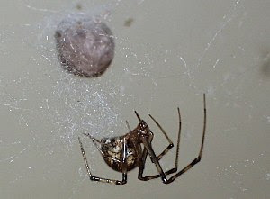 Photo of American common house spider, Achaear...