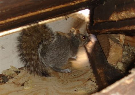 Signature Rodent Solutions Rodent Removal   Insulation Removal   Attic Cleaning Services