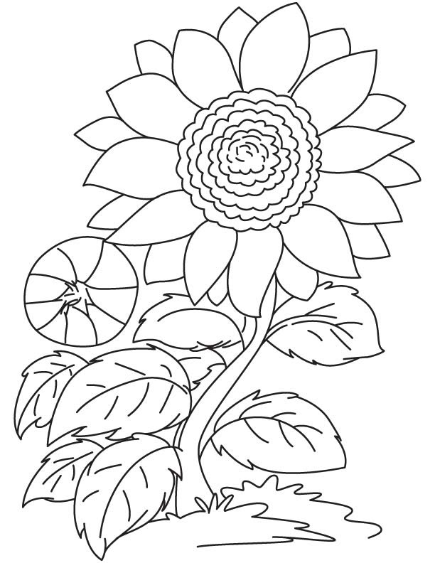 Red Sunflower Coloring Page Download Free Red Sunflower Coloring Page For Kids Best Coloring Pages