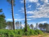 Pine Trees, 1