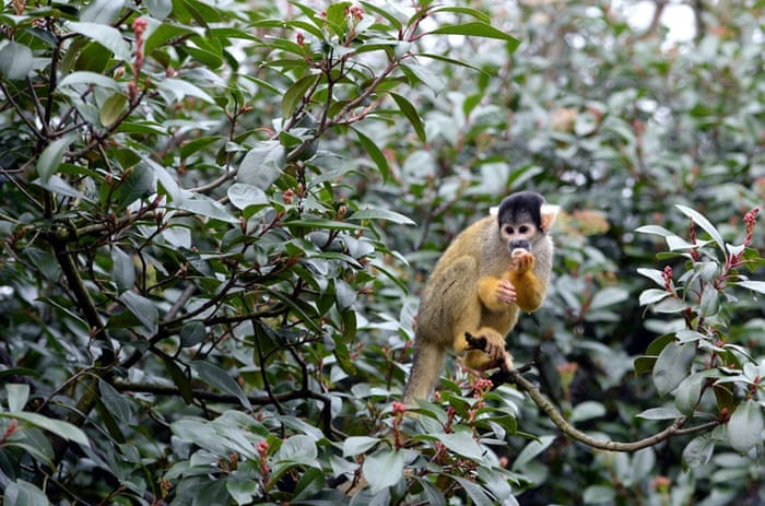 A Bolivian Black Capped Squirrel Monkey is counted during the annual stock take at London Zoo, London, January 5, 2015.