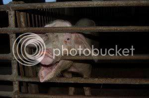 En svensk gris.