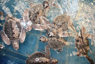 Baby turtles at Phuket marine biological centre