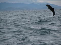 Brazil coast dolphin