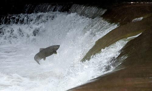 M's salmon1
