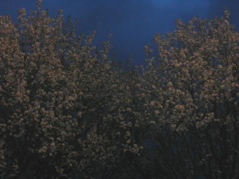 Blossoms at Night
