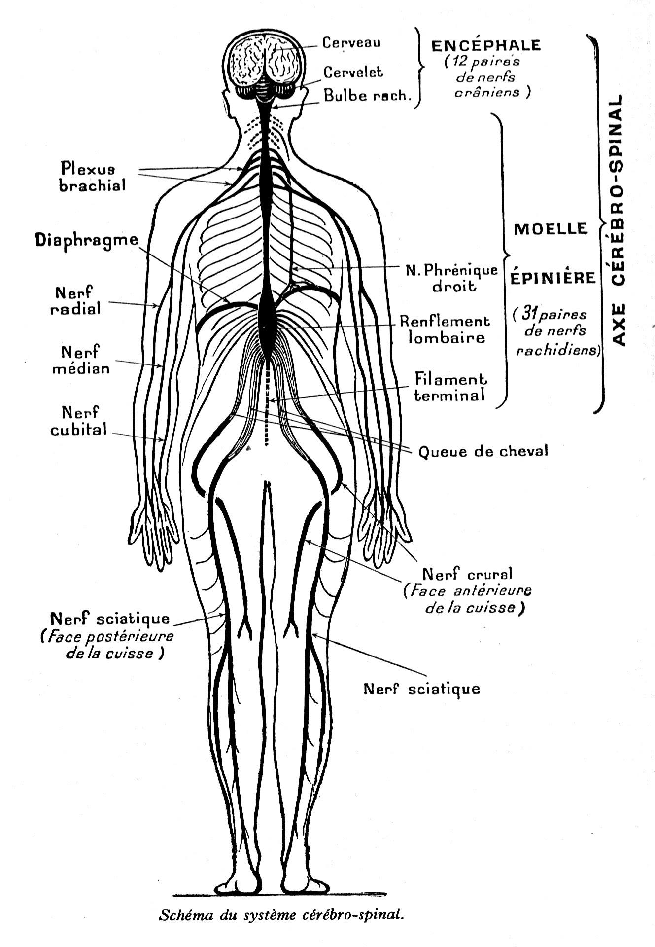 Anatomie du corps humain schéma du syst¨me cérébro spinal