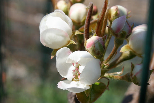 pear blossoms 060