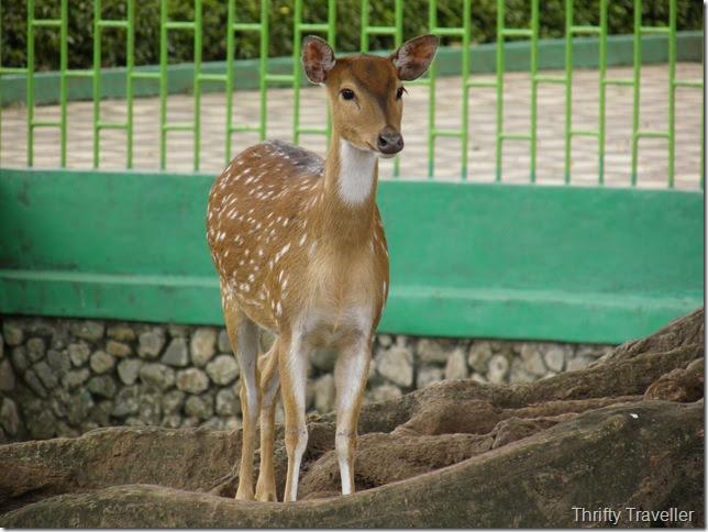 Sweet deer at Bukittinggi Zoo
