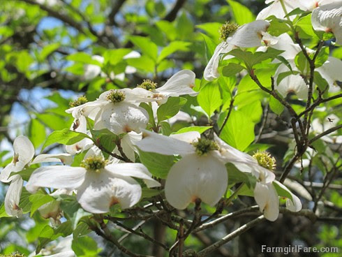 (25-14) The dogwoods are blooming like crazy - FarmgirlFare.com