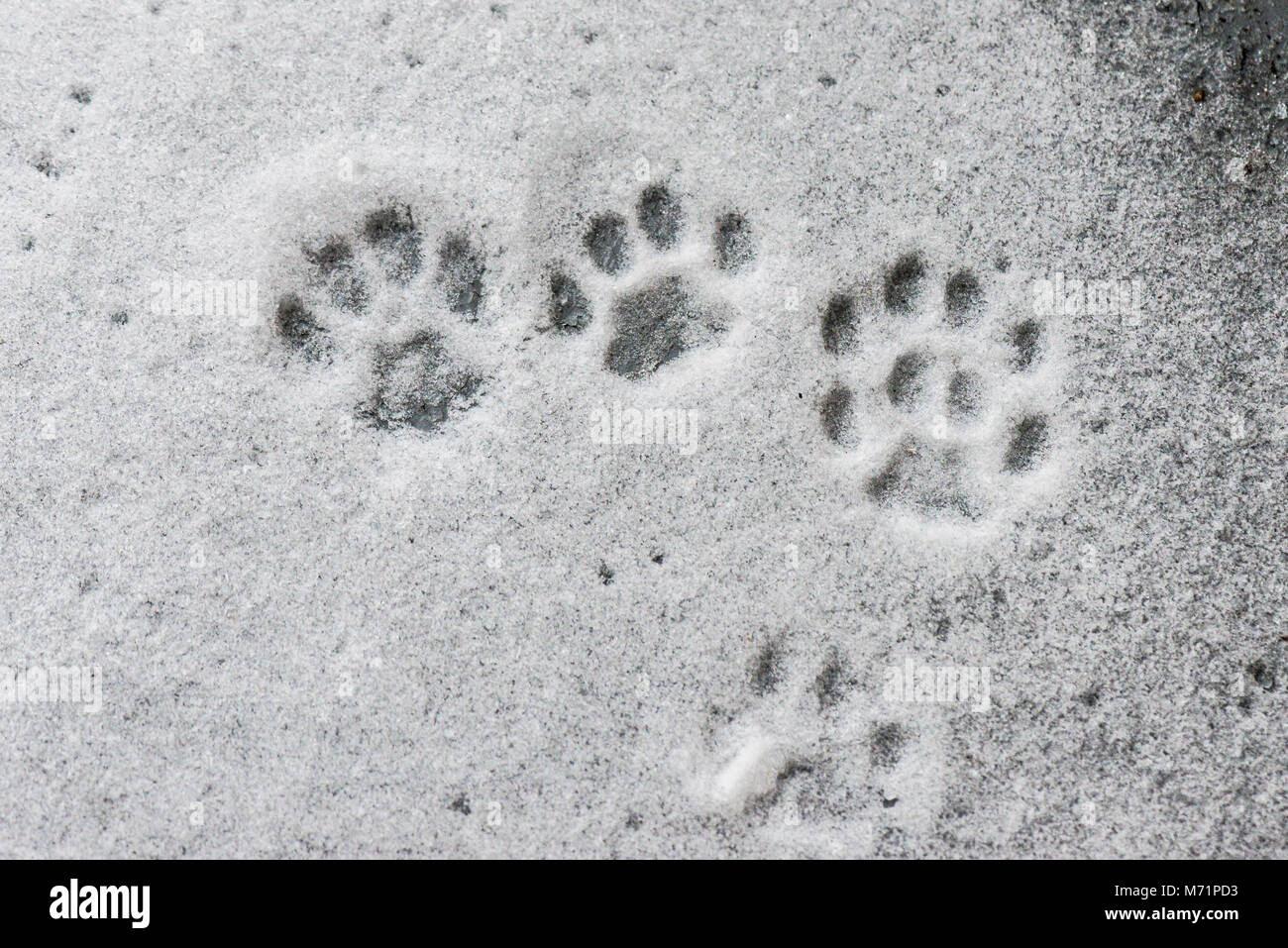 Cat Paw Prints In The Snow Stock Photo 176445839 Alamy